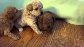 Toy/miniature Poodle Puppies For Sale, Poodle Puppy, Poodles For Sale Missouri