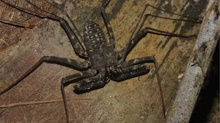 Фрина (жгутиконогий паук)