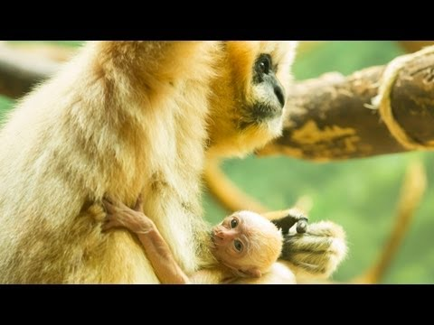 Lincoln Park Zoo welcomes white-cheeked gibbon baby