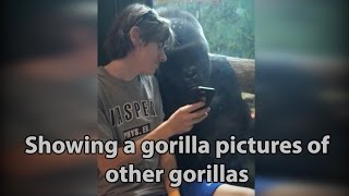 He showed a gorilla photos of other gorillas on his phone. Watch the gorilla