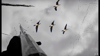 İpsala Kaz avı, Stoeger M3000, Specklebelly goose hunting,  ,гусиная,  гуся охота,la caccia d'oca