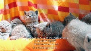 …Прямые трансляции о животных/Online kittens. Британские котята.