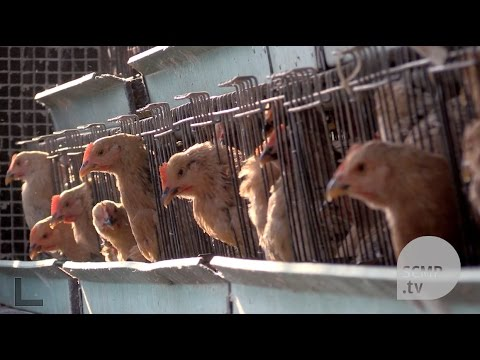Antibiotics use on healthy chicken