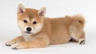 柴犬(しばいぬ、しばけん)は、日本古来の犬種。オスは体高38 - 41cm、...