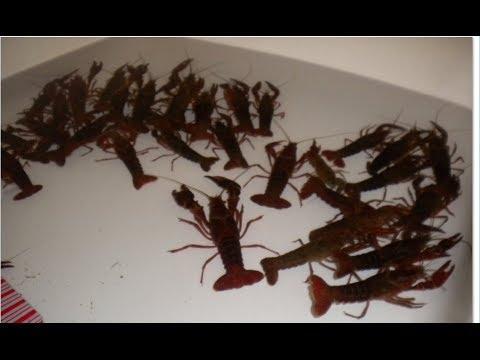 Crayfish detoxification