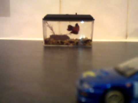 Worlds Smallest Fish Tank Betta Female Youtube