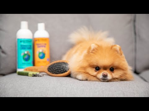 How To Groom Your Pomeranian At Home