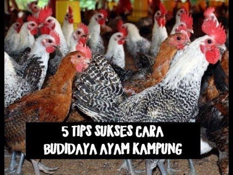 5 TIPS SUKSES CARA BUDIDAYA AYAM KAMPUNG - YouTube