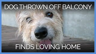 dog-thrown-off-balcony-finds-loving-new-home