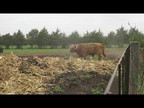 Bull enjoying new corn stalk bale
