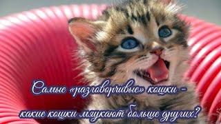 Самые «разговорчивые» кошки Какие кошки мяукают больше других The Most \