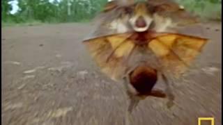 Как бегает плащеносная ящерица?