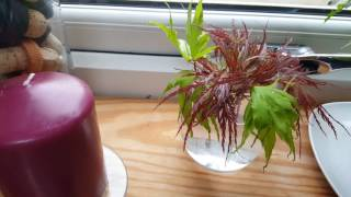 Rooting japanese maple in water