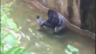 В США трехлетний мальчик упал в вольер с гориллами(В зоопарке города Цинциннати в американском штате Огайо трехлетний мальчик прополз через ограждение волье..., 2016-05-29T08:21:05.000Z)