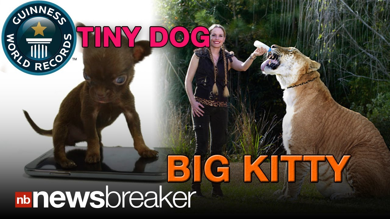 Biggest Cat In The World Guinness 2013 world record: guinness names world's largest cat, smallest dog