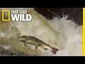 The Salmon's Life Mission | Destination WILD