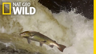 The Salmon's Life Mission | Destination WILD thumbnail