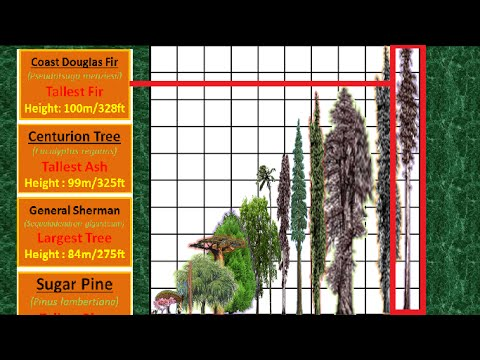 Tallest Tree Height Comparison