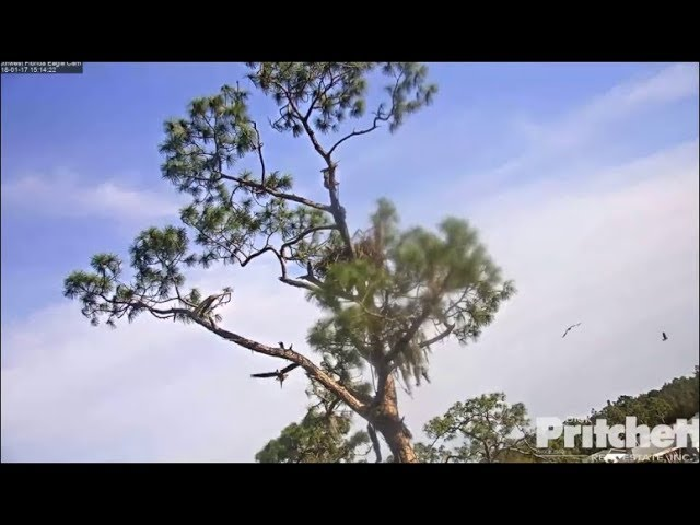 swfl-eagles-intruder-follows-m15-with-fish-harriet-chases-off-1-17-18