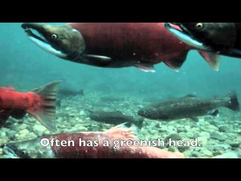 PACIFIC SALMON SONG