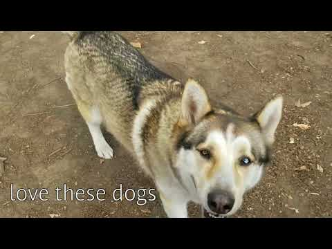European Doberman Pinscher and Bully visit Dog Park with Wolf Dog Mix!