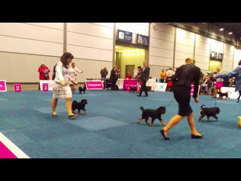 Gryfoniki belgijskie - World Dog Show 2017- cz.1