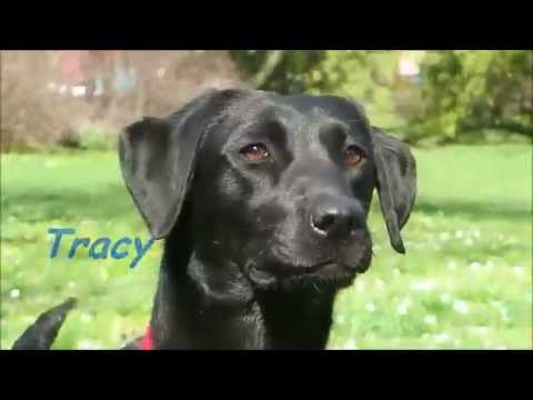 Verrassend Field Trial Labrador Retriever- Tracy 2. - YouTube YL-94