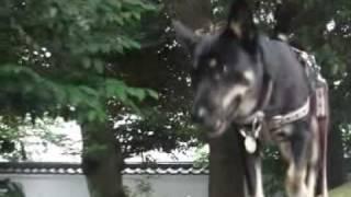 散歩といえば塀の上。「忍者犬・ちびっこサラ」の修行テーマソングがつ...