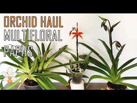 Orchid Haul Multifloral Paphiopedilums