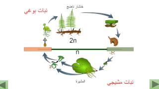 التوالد الجنسي عند النباتات اللازهرية : الخنشار