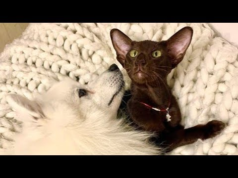 Best Friends Japanese Spitz And Oriental Cat