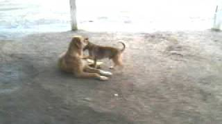 Video Cachorro Grande e Pequeno download MP3, 3GP, MP4, WEBM, AVI, FLV Agustus 2018