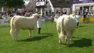 P encampwriaeth Gwartheg Charolais | Charolais Cattle Championship