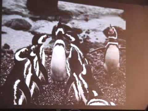 Behavior and Conservation of Magellanic Penguins