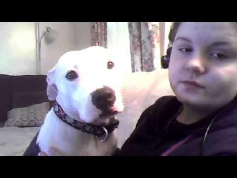vicious pitbull attacking human
