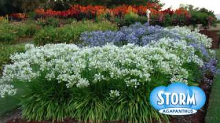 Plant Profile - Storm™ Agapanthus