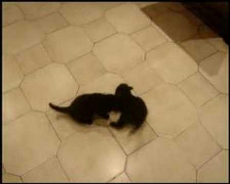 Black panthers, by mijar