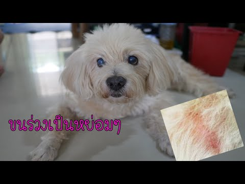 คนเลี้ยงต้องรู้!!! 6โรคที่มากับสุนัขขนร่วงเป็นหย่อม