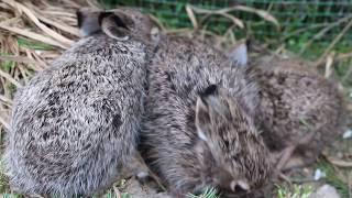 Зайчиха кормит малышей