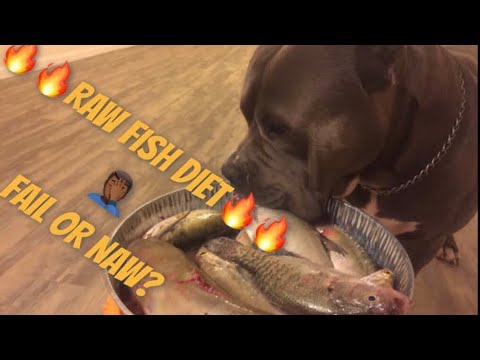 American Bully eating  raw fish