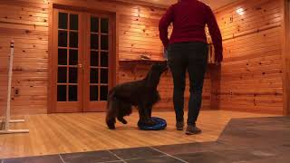 Jackie Field Spaniel Trick Dog Advanced