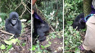 Baby Gorilla Tries To Steal Tourist's Jacket