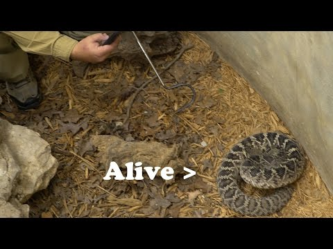 FACE TO FACE with a LIVE Rattlesnake