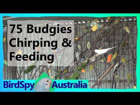 75 Budgies Chirping, Singing, Playing And Feeding | BirdSpyAus