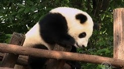 Conservationists fight to save giant panda in China