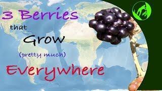 3 Wild Berries that Grow Pretty Much Everywhere