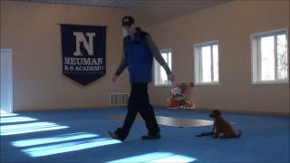 Jack (mini Goldendoodle) Puppy Boot Camp Training Video