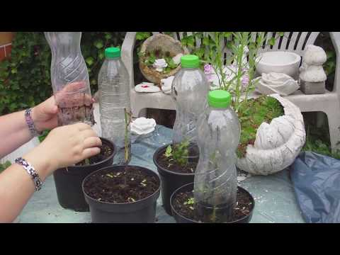 Rosen Selber Ziehen - Anzucht Im Vergleich Mit Kartoffel Und Ohne