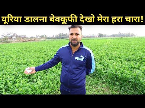यूरिया के बिना जैविक हरा चारा बरसीम की खेती|Organic Green fodder Barseem Farming