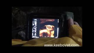 Cow Diagnosed 53 days Pregnant with RKU-10 Ultrasound Scanner